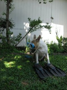 snorkeling bull terrier....Lady Bug take notes and be inspired!!! Or just face it you are going to be an aqua bully!!!