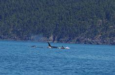 Transient Orcas @ Broom Hill - Sooke 5/10/16