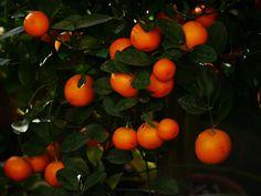 Calamondin (Citrus mitis)