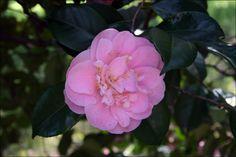 camellias | Camellias | Steve's Genealogy Blog