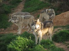 Mexican gray wolves (lobos) photo credit California Wolf Center.