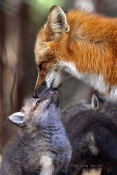 Moment de tendresse entre maman renard et renardeau