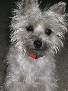 Meet Janelle a cute Cairn Terrier puppy for sale for 600