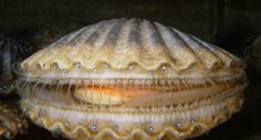 Argopecten irradians, the Atlantic Bay scallop, photographed at the Marine Biological Laboratory in Woods Hole