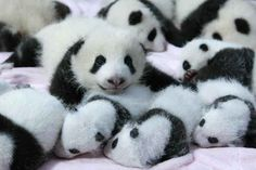 LOOK AT THEIR TINY PANDA FACES. | Can Your Heart Handle This Crib Full Of Adorable Baby Pandas?