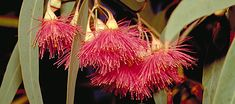 Eucalyptus leucoxylon 'Rosea' -- The three genera Eucalyptus, Corymbia and Angophora are known collectively as 'eucalypts'. With over 700 species, the eucalypt dominates many Australian landscapes and is only absent (or at least reduced in diversity) in rainforests and truly arid environments.