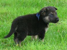 Bosko!  :)  The cutest German Shepherd puppy EVER!
