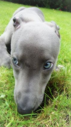 """Whippets  E's ER Work Friend said whippets would be a good personality fit """""""""""