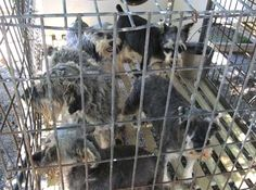 The Horrible Hundred 2015: U.S. Puppy Mills Exposed : The Humane Society of the United States