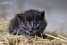 Find images of Cats. ✓ Free for commercial use ✓ No attribution required ✓ High quality images. Baby Cat Images, Kitten Images, Siamese Cats, Cats And Kittens, Black Kittens, Kitten Formula, Cat Ages, Mother Cat, Cats Diy