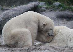 IJsbeer Vicks met een teder moment met zijn moeder Olinka. Op 22 oktober is hij vertrokken uit Blijdorp naar Zweden.