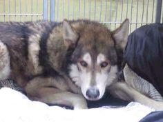 #Founddog 10-24-14 #Surprise #AZ #Malamute mix male GINA LANE LOST/FOUND HUSKY DOGS https://m.facebook.com/story.php?story_fbid=855477297816951&id=354914621206557