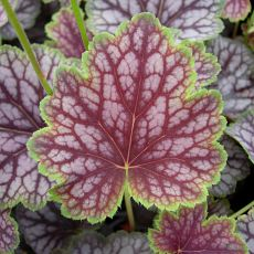 Specialist Growers of Heucheras, Heucherella, Tiarella, Hardy Perennials and many new and unusual plants Part Shade Plants, Shade Garden Plants, Garden Shrubs, Lawn And Garden, Coral Bells Plant, Coral Bells Heuchera, Large Flower Pots, Hardy Perennials, Unusual Plants
