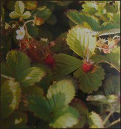 Fresa silvestre y sus usos medicinales