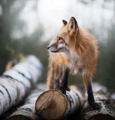 Fox by © Iza Łysoń