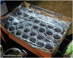After the cups are in, we cover the sides and top with plastic wrap.  This creates a greenhouse-effect to hold in moisture and heat to help the seeds to grow.