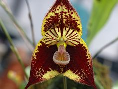dracula orchids species plants and flowers | ... Dracula SECTION Dracula SUBSECTION Dracula SERIES Dracula Photo