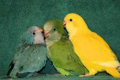 quaker parakeet | Juvenile Blue, Green, and Dark-eyed Yellow Quakers