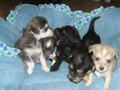 Chihuahua Puppies for Free Yorkie Puppies For Adoption, Teacup Chihuahua For Sale, Teacup Yorkie, Cute Chihuahua, Yorkie Puppy, Chihuahuas, New Mexico, Puppy Love, Cute Animals