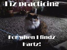 """I iz practicing for when I findz Hartz"" LOLcat by Boycott Hartz on Facebook"