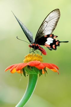 """Pachliopta Aristolochiae (a swallowtail butterfly - """"Common Rose"""") on Tithonia ~ photo by Colin Dunjohn Butterfly Kisses, Butterfly Flowers, Butterfly Photos, Beautiful Bugs, Beautiful Butterflies, Beautiful Creatures, Animals Beautiful, Flying Flowers, Flying Insects"""