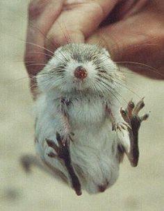 <b>San Bernardino kangaroo rat</b> <p> <b>Range:</b> Los Angeles, Orange, Riverside and San Bernardino counties</p> <p> <b>Status: </b>Endangered</p> <p> <b>Fun fact:</b> San Bernardino kangaroo rats can survive indefinitely without water.</p>