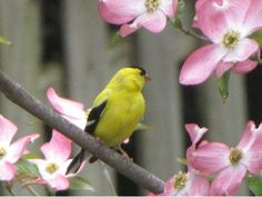 Goldfinch - I love pink dogwood.
