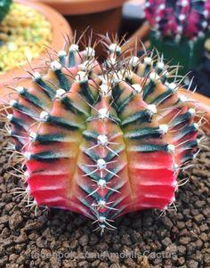 cactus con flor//