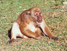 MACACO - Macaco de Assam- Macaca_assamensis_mâle