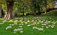 Pretty White Crocus in Green grass. Manor Garden, Yard Maintenance, Victorian Gardens, Formal Gardens, Felder, Garden Care, Raised Garden Beds, Raised Beds, Gardens