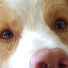 por qué tu perro te mira a los ojos