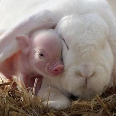 baby pig and rabbit