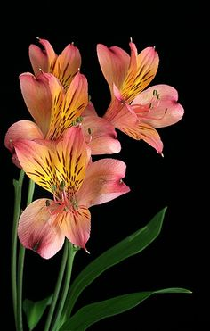 Alstroemeria aurea or Peruvian lily Tropical Flowers, Botanical Flowers, Flowers Nature, Exotic Flowers, Pink Flowers, Lilies Flowers, Beautiful Flowers Pictures, Beautiful Flower Arrangements, Flower Pictures