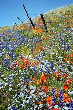 Beautiful Wild Flowers of Texas on the side of the road.