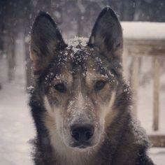 Hybrid wolf in snow Hybrid Wolf, Wolfdog Hybrid, Husky, Snow, Dogs, Projects, Inspiration, Animals, Log Projects