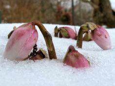 Nordic sublime ~ Helleborus niger - The Garden of Eaden