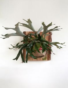 Small Staghorn Fern in Vintage Burlap