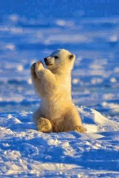 This baby polar bear is happy and he knows it adorables funny graciosos hermosos salvajes tatuajes animales Animals And Pets, Funny Animals, Animals In Snow, Baby Wild Animals, Save Animals, Animals Images, Zoo Animals, Baby Polar Bears, Polar Cub