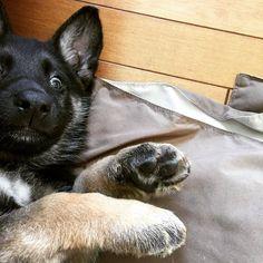 Instagram Post By German Shepherd Dog GSD O May 31 2017 At 202am UTC