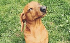 15 Things Never to Say to a Dachshund - cute, funny, and true!