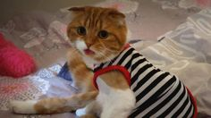 [스코티쉬폴드Scottish fold] Suri&Noel cat story EP25