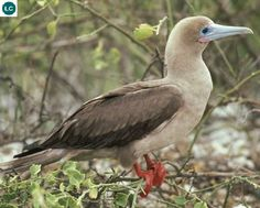 https://www.facebook.com/WonderBirdSpecies/ Red-footed booby (Sula sula); Caribbean, the South-West Atlantic Ocean and the Pacific and Indian Oceans; IUCN Red List of Threatened Species 3.1 : Least Concern (LC)(Loài ít quan tâm) || Chim điên chân đỏ; Các vùng biển nhiệt đới: Caribê, tây-nam Đại Tây Dương, Thái Bình Dương và Ấn Độ Dương; Họ Chim điên-Sulidae (Booby&Gannet).