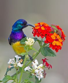 The Variable Sunbird (or Yellow-bellied Sunbird), Cinnyris venustus (formerly Nectarinia venusta), is a sunbird. The Variable Sunbird is a fairly common resident breeder in equatorial Africa.