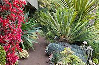 Red flowering Bougainvillea vine by dirt path with drought tolerant succulents and Cycads in Don Worth tropical garden border