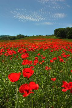 Poppies! Tuscany