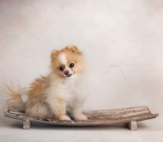 Modeling a new tray for puppies and newborns. #newbornphotography #allentown #lehighvalleyphotographer #lehighvalley #newborn #petphotography #pomeranian #pomeraniansofinstagram