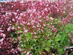 Saxifraga x urbium (London pride) / The Jagged Edge: Serrated Foliage Round Up: Saxifraga x urbium 'Miss Chambers' by Far Reaches Farm