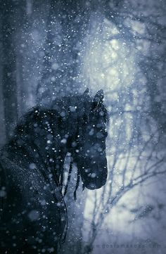 Beautiful black horse winter
