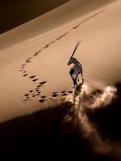 Gemsbok on Dune