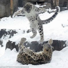 White Wolf: Snow leopard cub plays with mom in snow (Video)